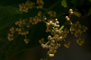 66-calyptranthes-aromatica