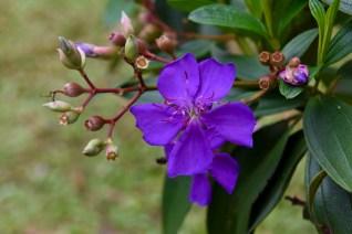 24-tibouchina-granulosa