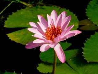 Ninfeia rosa