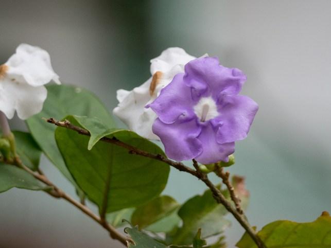 01-brunfelsia-grandiflora