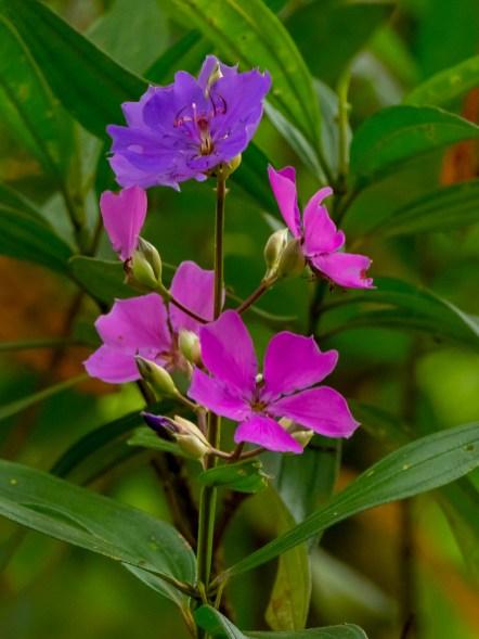23-tibouchina-granulosa