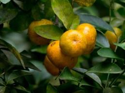 24-citrus-reticulata
