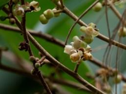 52-carapa-guianensis