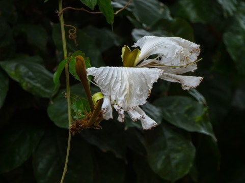 59-camoensia-scandens