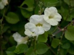 62-acystasia-phalerata