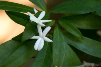 16-amphirrhox-longiflora