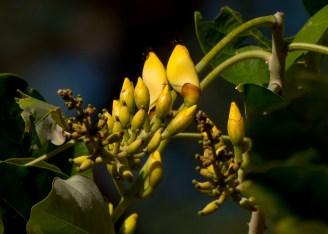 25-erytrina-fusca