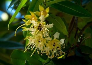 28-duabanga-grandiflora