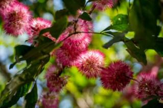 39-zygia-latifolia