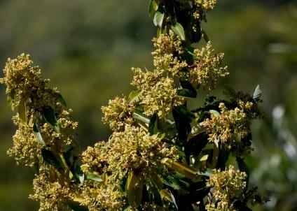 46-lauraceae