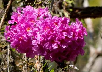 48-handroanthus-heptaphylla