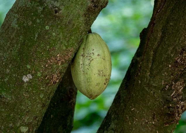 57-theobroma-cacao