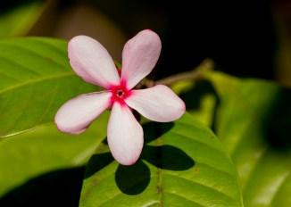 59-kopsia-fruticosa