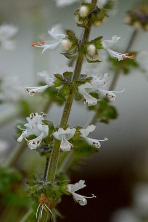 15-ocimum-basilicum