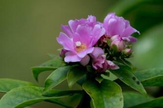 16-pereskia-grandifolia