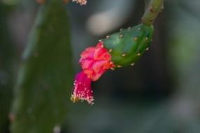 23-opuntia-brasiliense