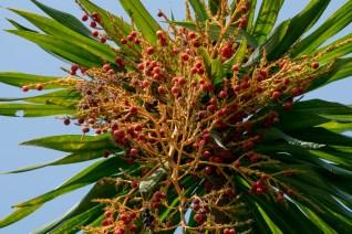 39-dracaena-arborea