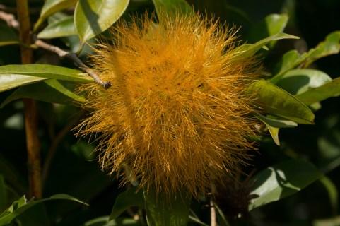 42-stifftia-crysantha