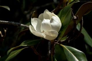 64-magnolia-grandiflora