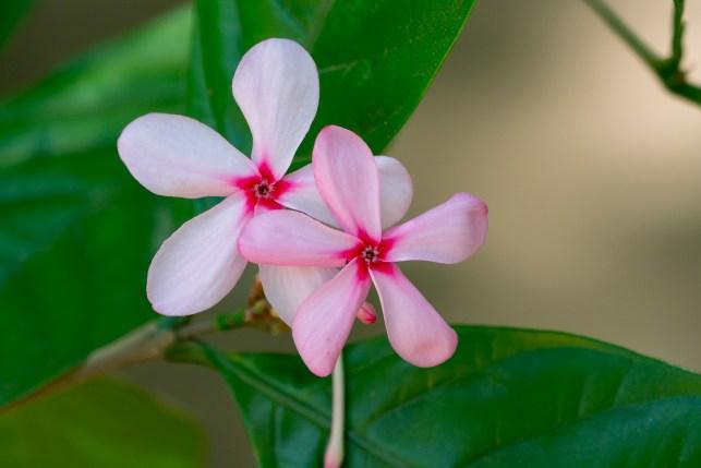 72-kopsia-fruticosa