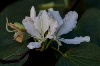 002-bauhinia-variegata
