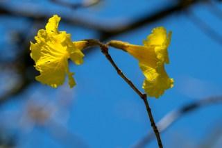 107-ipe-amarelo