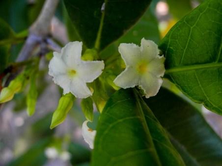 113-mascarenhasia-arborescens