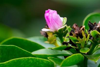 12-pereskia-grandifolia