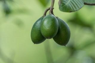 40-cerbera-manghas