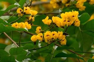 42-pterocarpus-rohrii