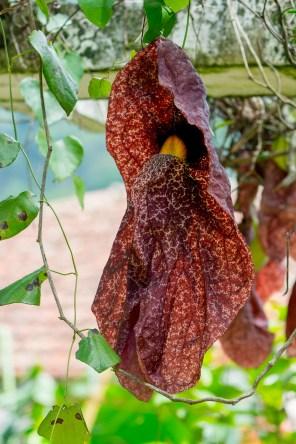 60-aristolochia-gigantea