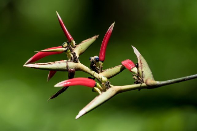 84-heliconia-caribeae