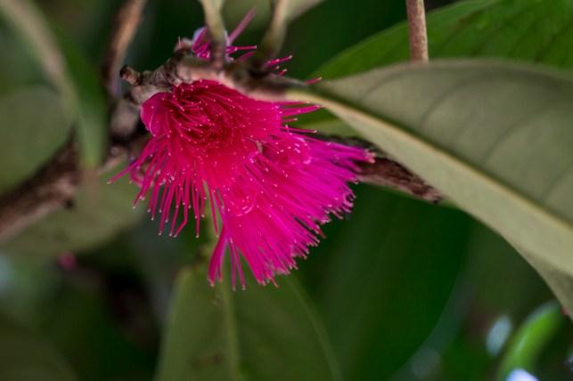 03-syzygium-malaccensis