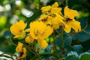 46-senna-appendiculata