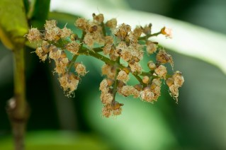 57-calyptranthes-aromatica