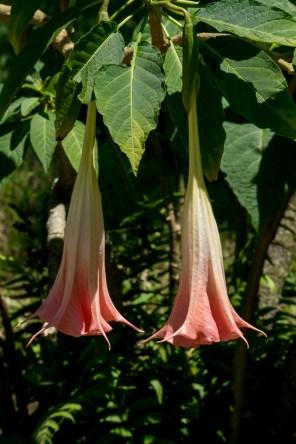 58-bougmansia-suaveoleos