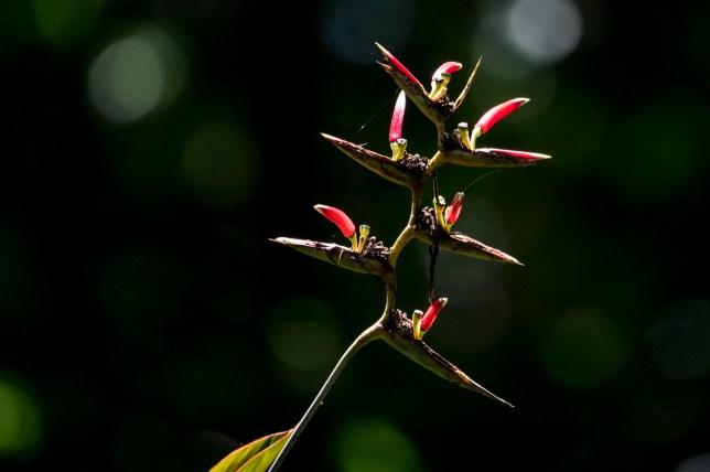 62-heliconia-caribeae