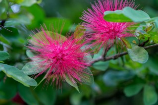 03 - Calliandra harrisii
