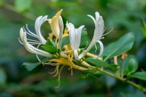 06 - Lonicera japonica