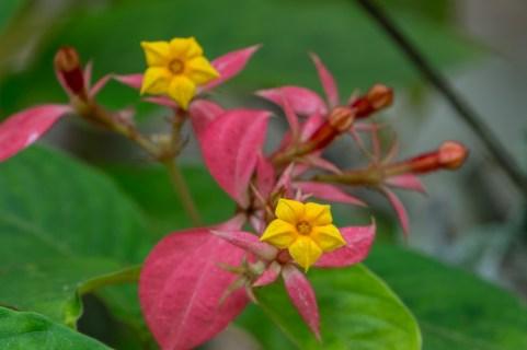 21 - Mussaenda erythrophylla