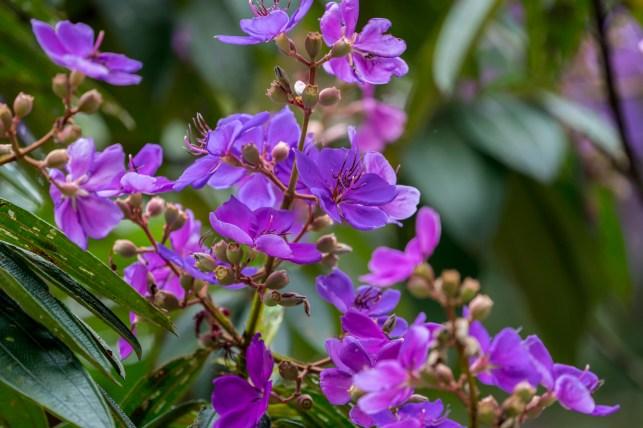 27 - Tibouchina granulosa