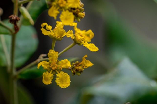 32 - Banisteriopsis laesifolia