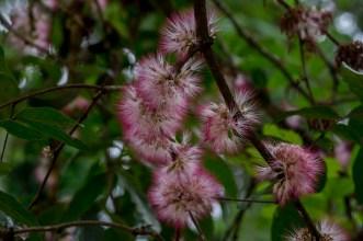 38 - Zygia latifolia