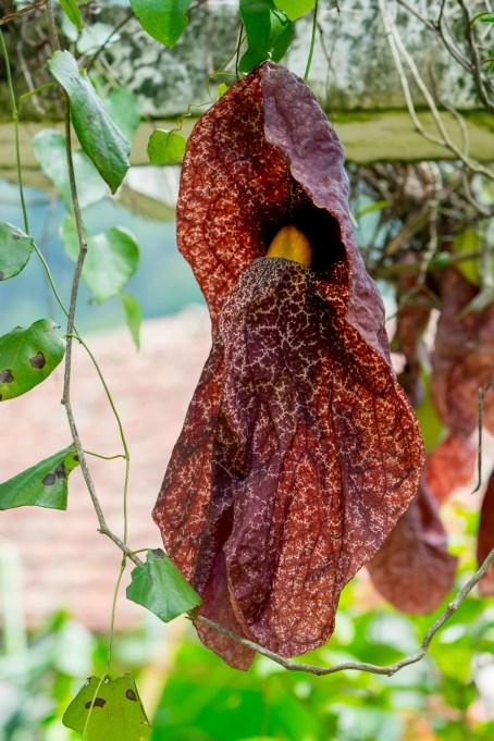 51 - Aristolochia gigantea