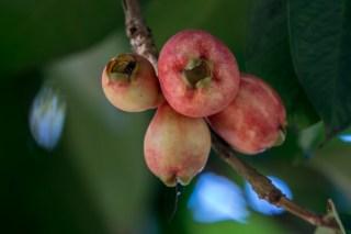 10 - Syzygium malaccense