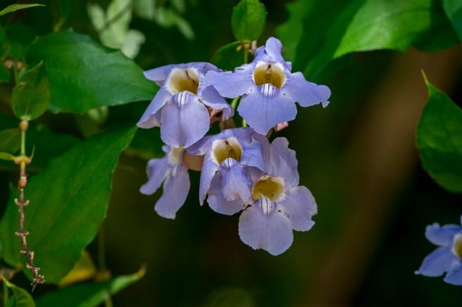 34 - Thumbergia grandiflora