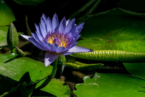 58 - Nymphaea capensis