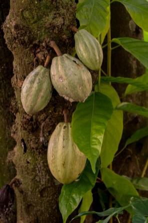 64 - Theobroma cacao