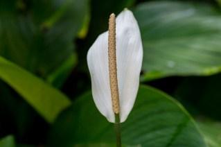 02 - Spathiphyllum cannifolium