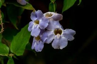 29 - Thumbergia grandiflora